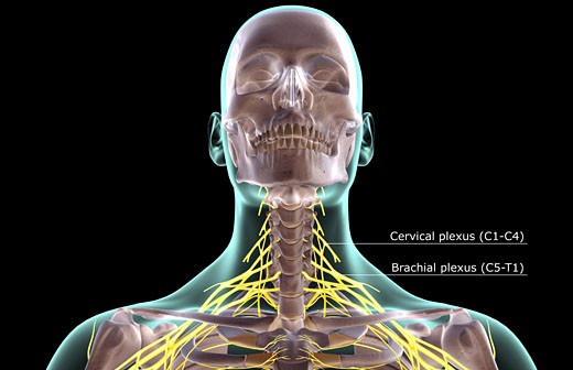 The nerves of the neck : Stock Photo