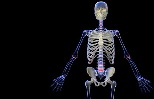 The bones of the upper body : Stock Photo