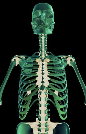 The ligaments of the upper body : Stock Photo