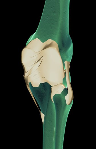 The ligaments of the knee : Stock Photo