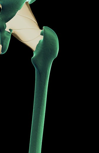 The ligaments of the hip : Stock Photo