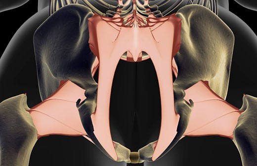 The ligaments of the pelvis : Stock Photo