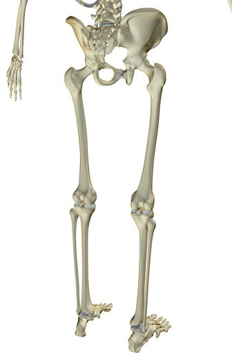 Stock Photo: 1832R-4591 The bones of the lower body