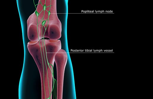 The lymph supply of the knee : Stock Photo