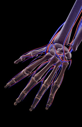The blood supply of the hand : Stock Photo