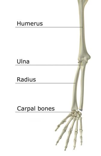 The bones of the upper limb : Stock Photo