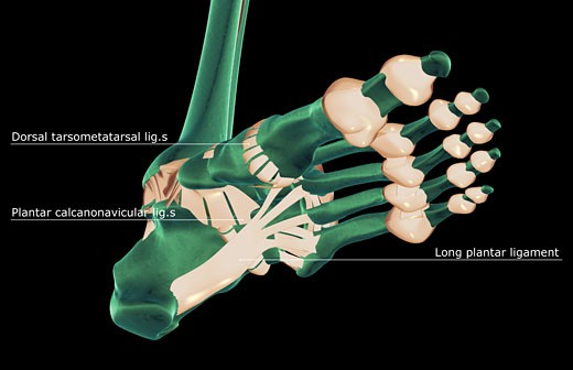 Stock Photo: 1832R-5748 The ligaments of the foot