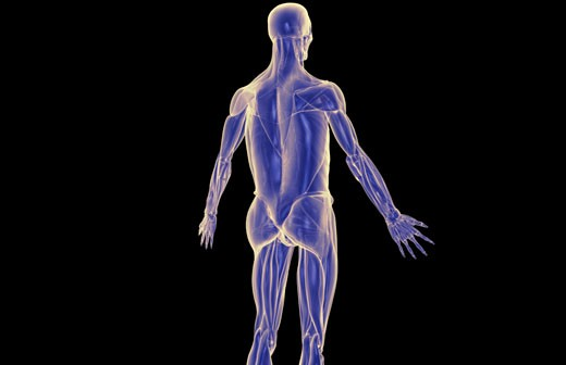 The muscles of the upper body : Stock Photo