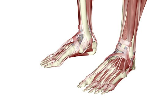 The muscles of the feet : Stock Photo
