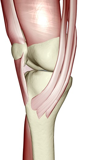 Stock Photo: 1832R-7880 Muscles of the knee