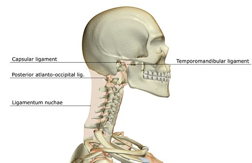 Ligaments of the head : Stock Photo