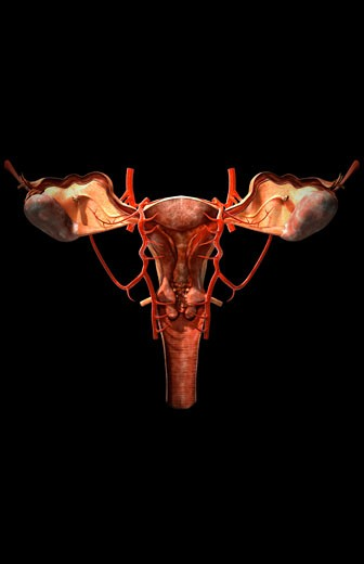 The arteries of the female reproductive system : Stock Photo