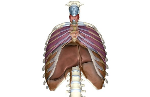 The respiratory system : Stock Photo
