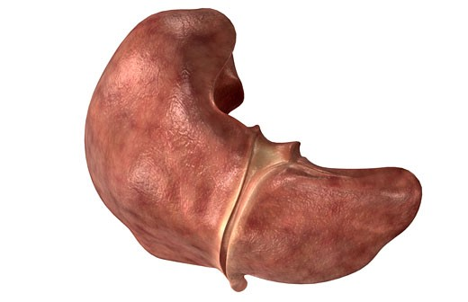 The liver : Stock Photo