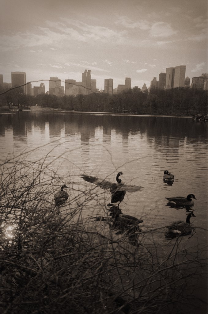 Birds in Lake, Central Park, New York City, USA : Stock Photo