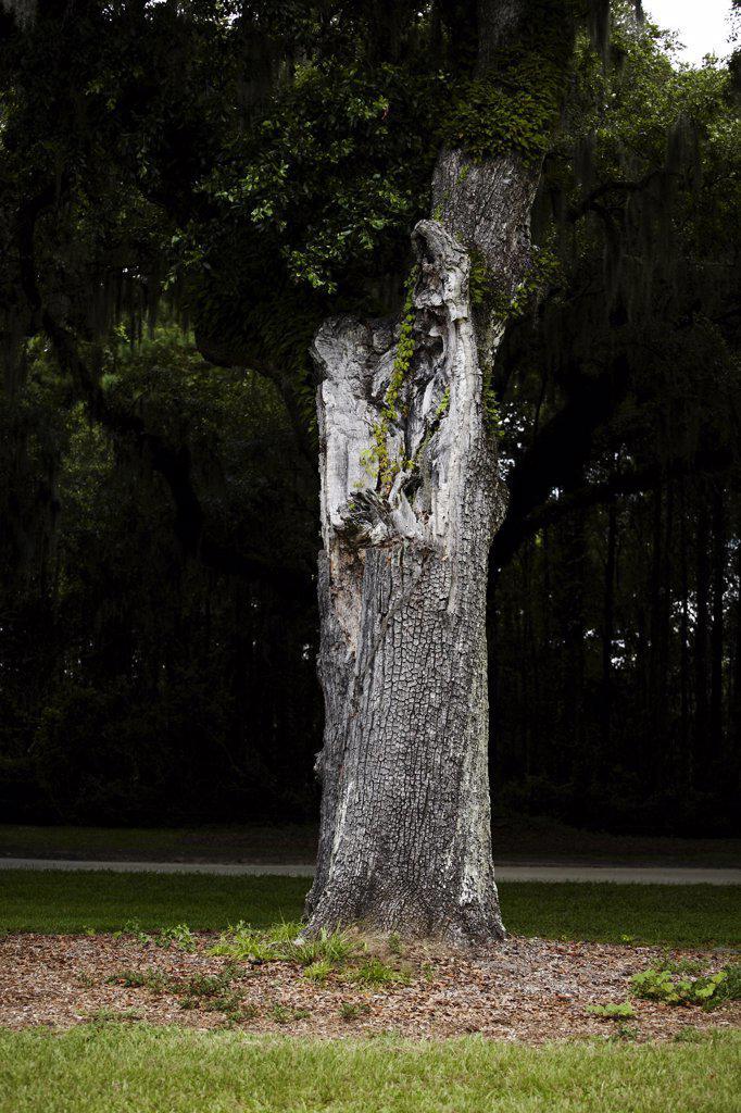 Stock Photo: 1838-13384 Trunk of Southern Live Oak Tree