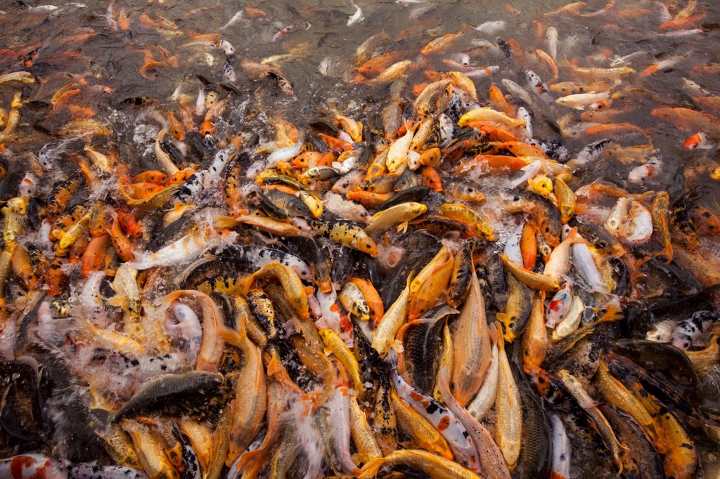 Goldfish Swarm for Food in Pond, Dalat, Vietnam : Stock Photo