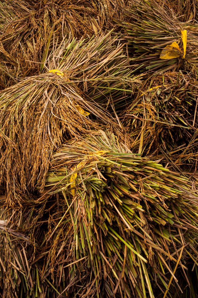 Stock Photo: 1838-13647 Fresh Cut Rice Stalks, Vietnam
