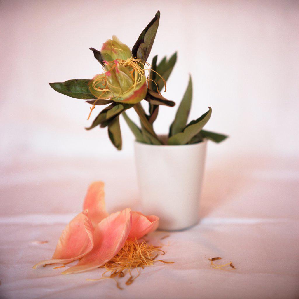 Stock Photo: 1838-13690 Fallen Petals