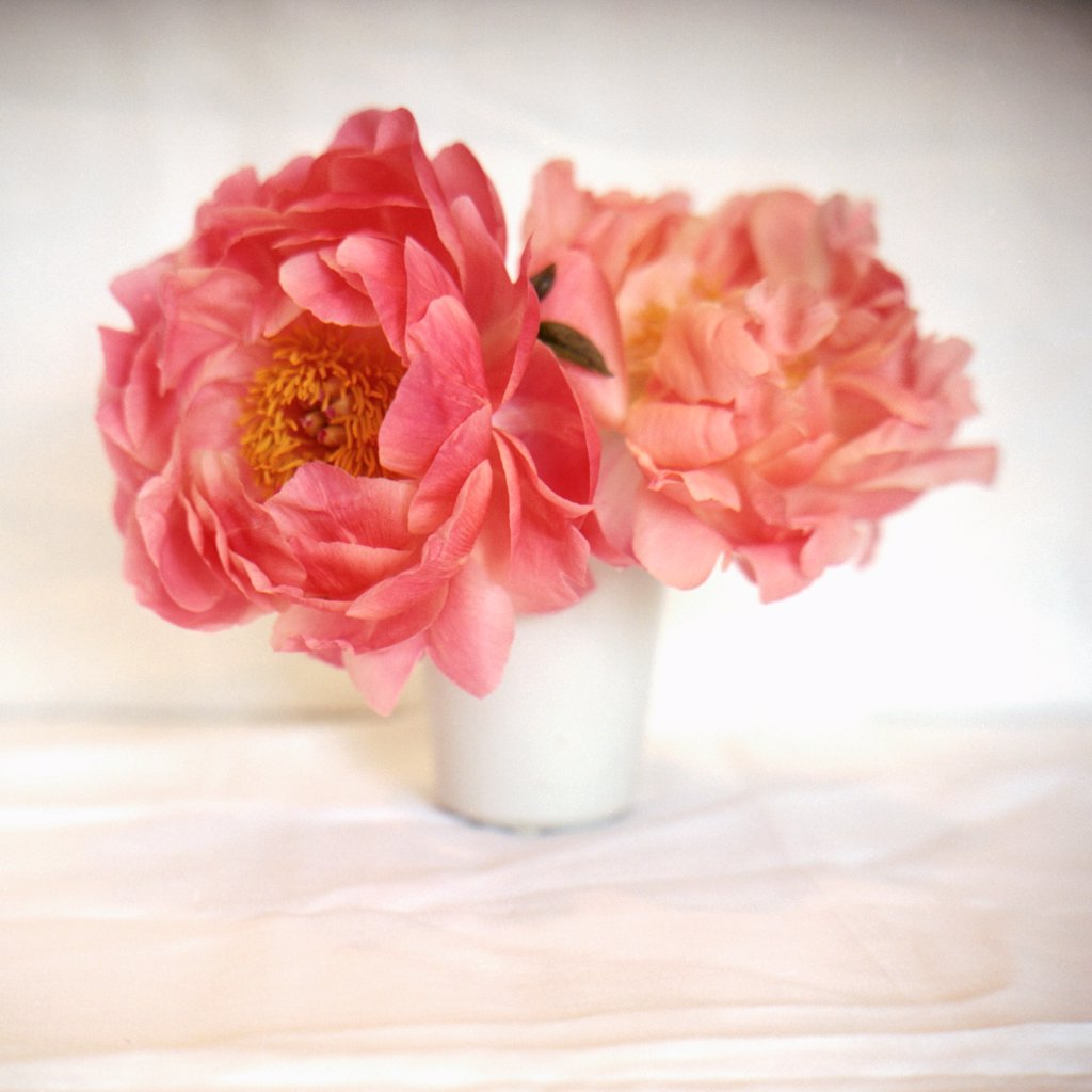 Stock Photo: 1838-13701 Peonies in White Vase