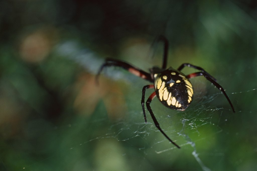 Stock Photo: 1838-13746 Argiope Spider in Web