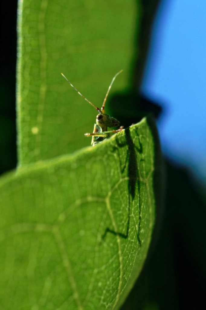 Stock Photo: 1838-13796 Katydid on Green Leaf