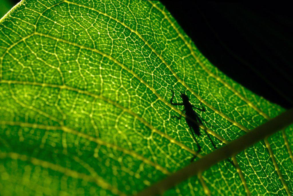 Katydid Shadow on Green Leaf : Stock Photo