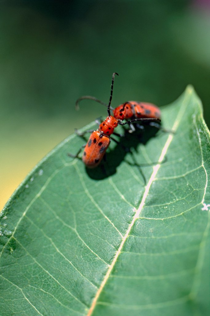 Stock Photo: 1838-13798 Two Milkweed Bugs on Green Leaf