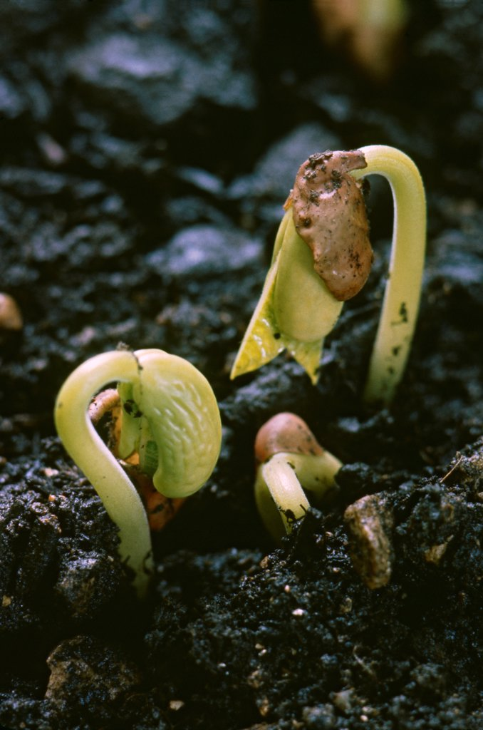 Stock Photo: 1838-13878 Beans Sprouting in Dirt
