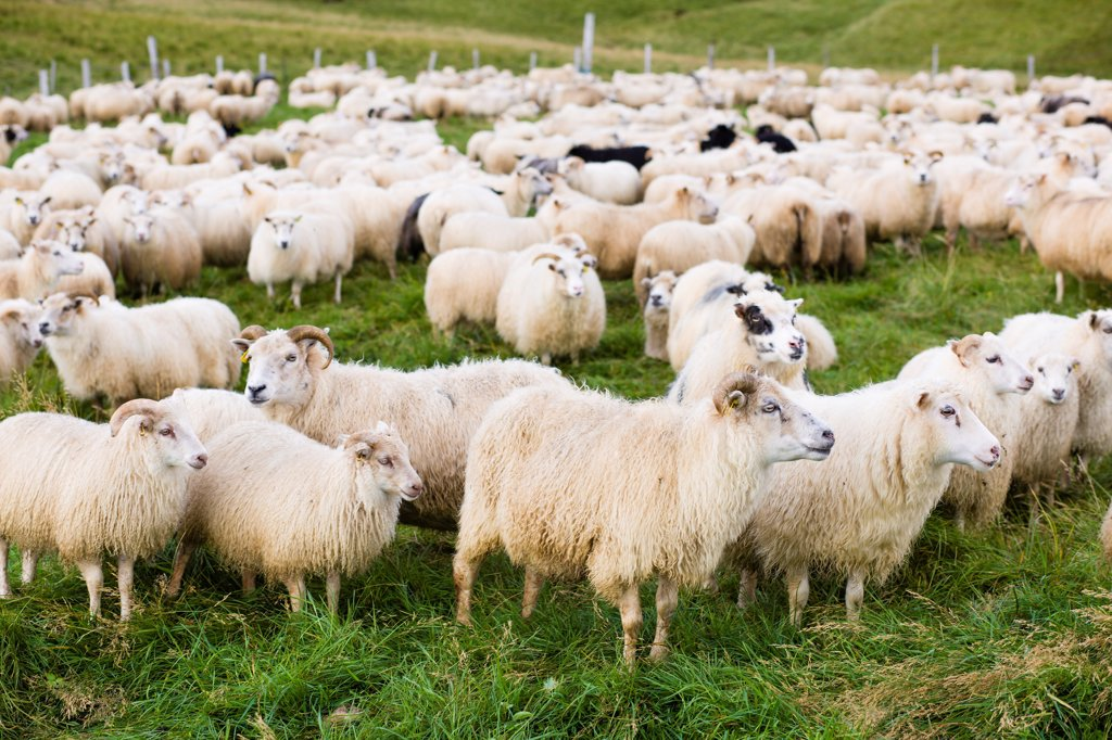 Stock Photo: 1838-14053 Herd of Sheep in Field