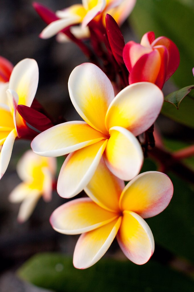 Stock Photo: 1838-14107 Blooming Plumeria