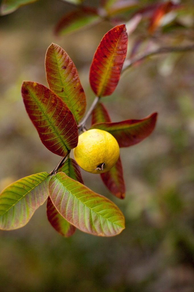 Stock Photo: 1838-14110 Guava on Branch With Colorful Leaves