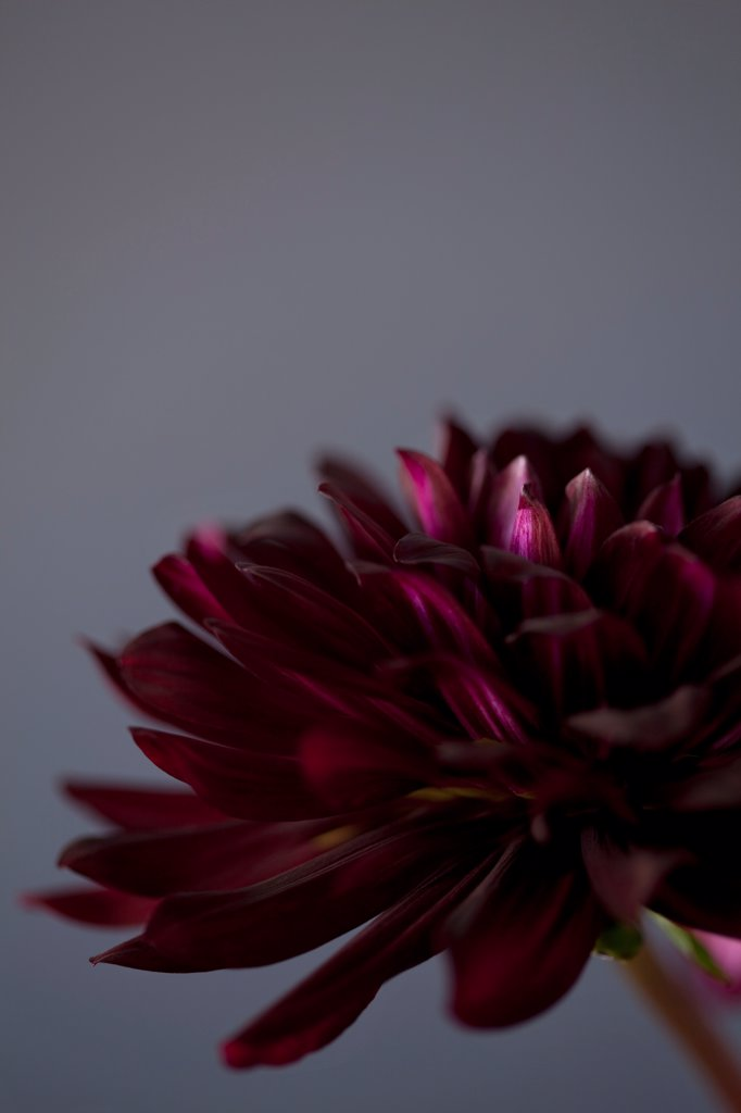 Stock Photo: 1838-14123 Purple Dahlia Flower