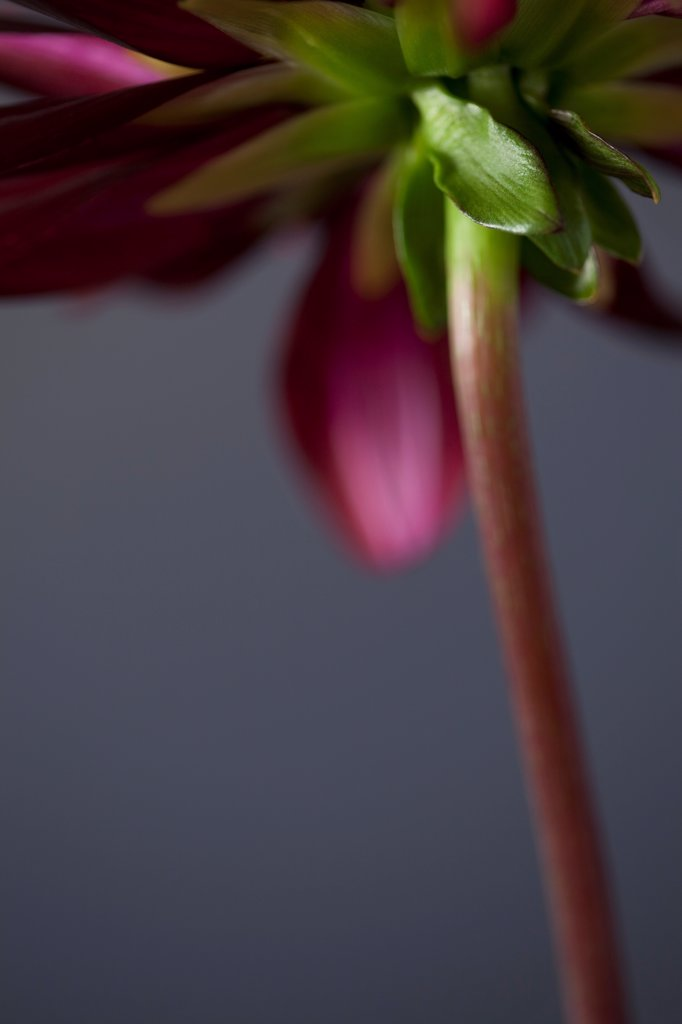 Stock Photo: 1838-14124 Purple Dahlia Flower and Stem