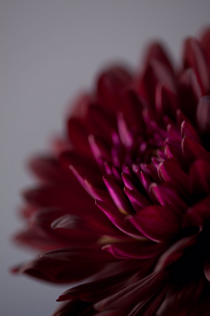 Purple Dahlia Flower Close Up : Stock Photo