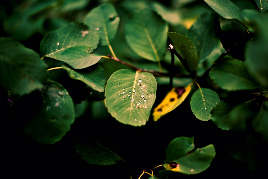 Stock Photo: 1838-14160 Waterdrops on Leaves