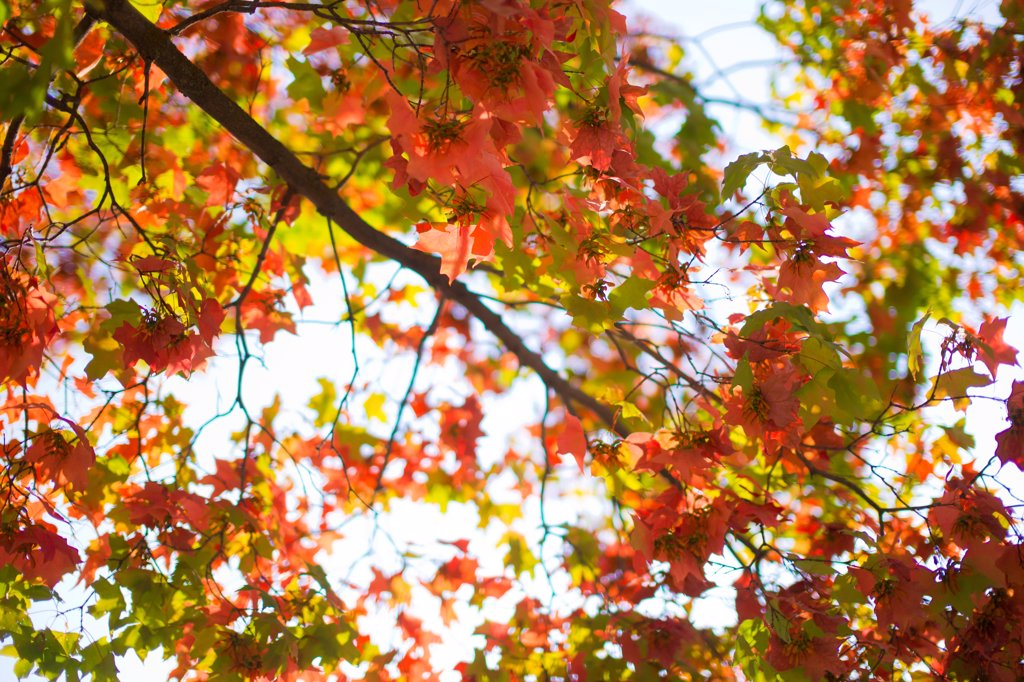 Autumn Leaves, Low Angle View : Stock Photo