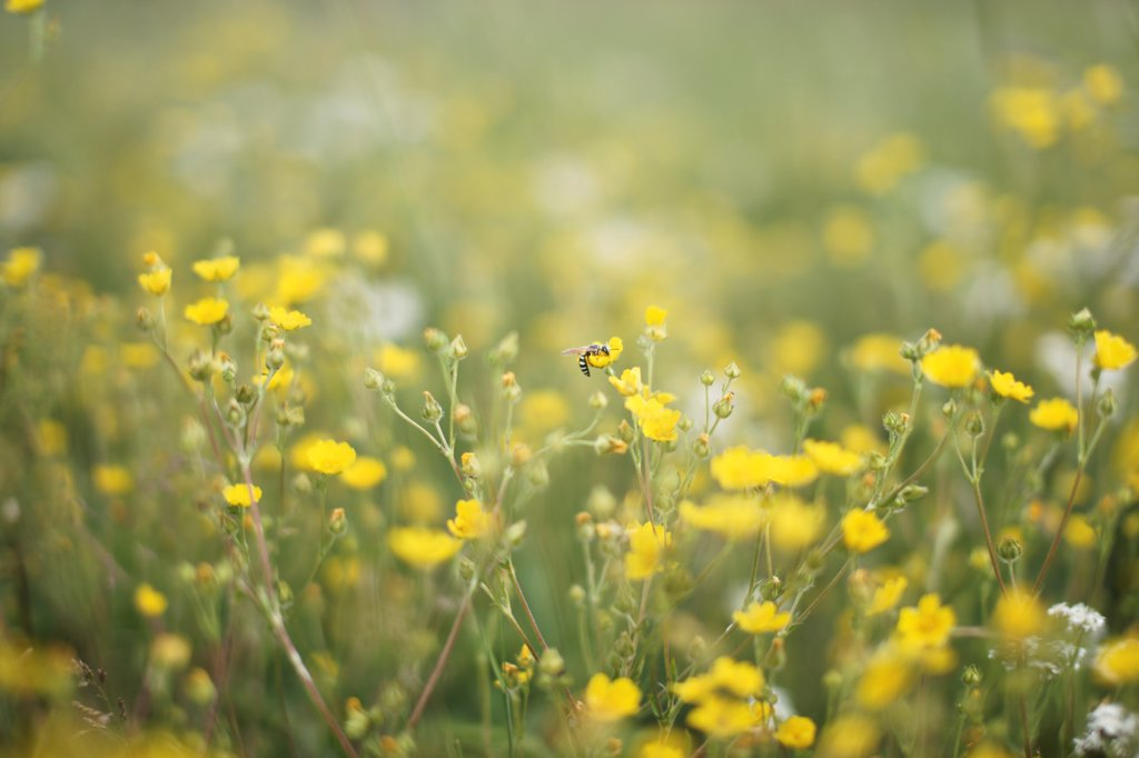 Stock Photo: 1838-14223 Bee and Yellow Wildflowers