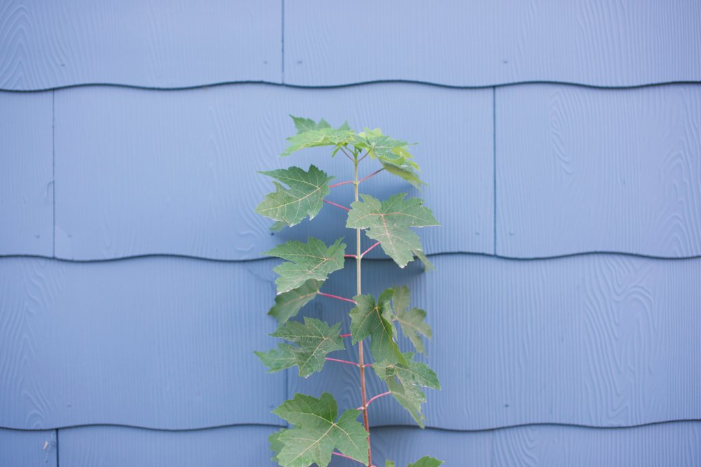 Stock Photo: 1838-14226 Leafy Plant Growing Against Wall