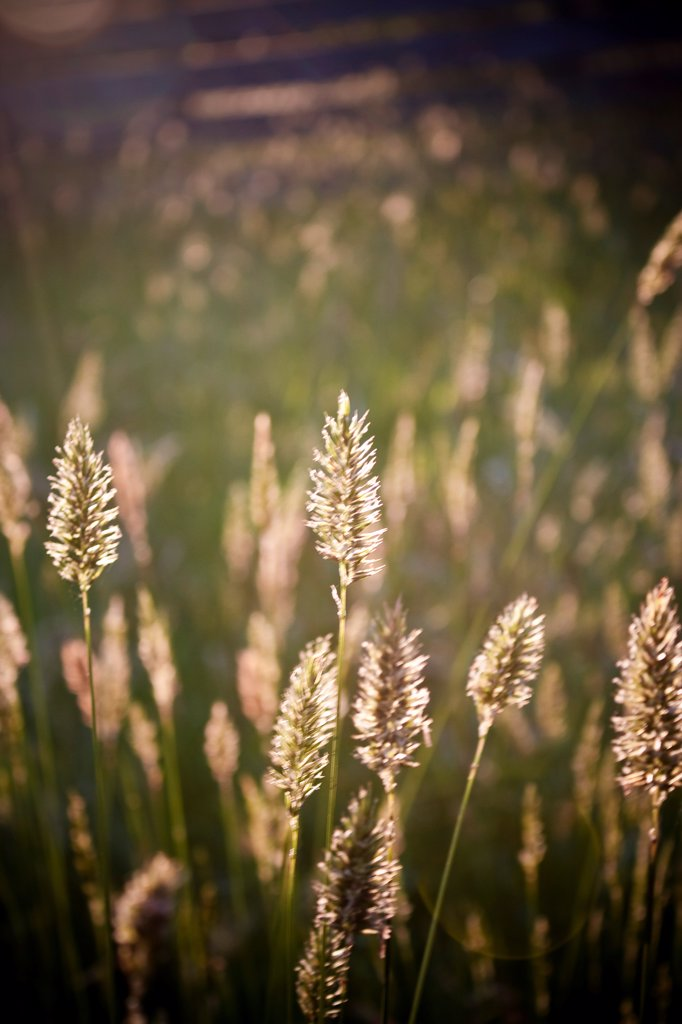 Stock Photo: 1838-14249 Wheat Germ Grass