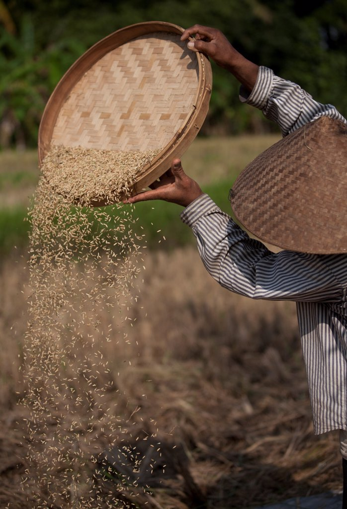 Stock Photo: 1838-14287 Man Sorting Rice During Harvest, Bali, Indonesia