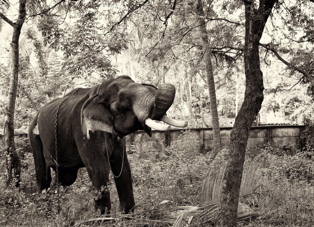 Stock Photo: 1838-14446 Old Elephant, India