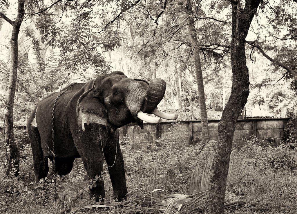 Old Elephant, India : Stock Photo