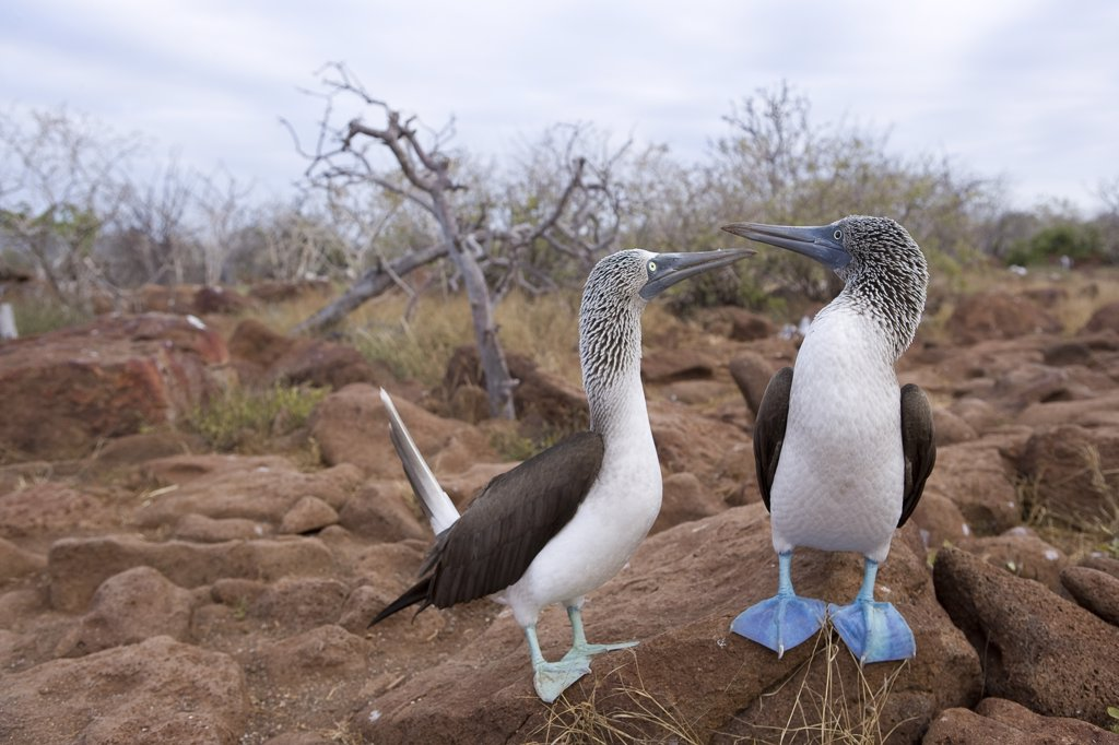 Stock Photo: 1838-1999 Two Blue-footed Boobies