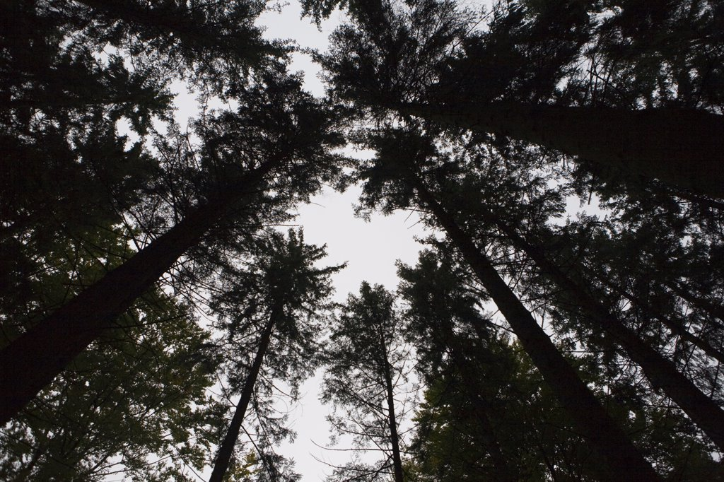 Stock Photo: 1838-6014 Conifers