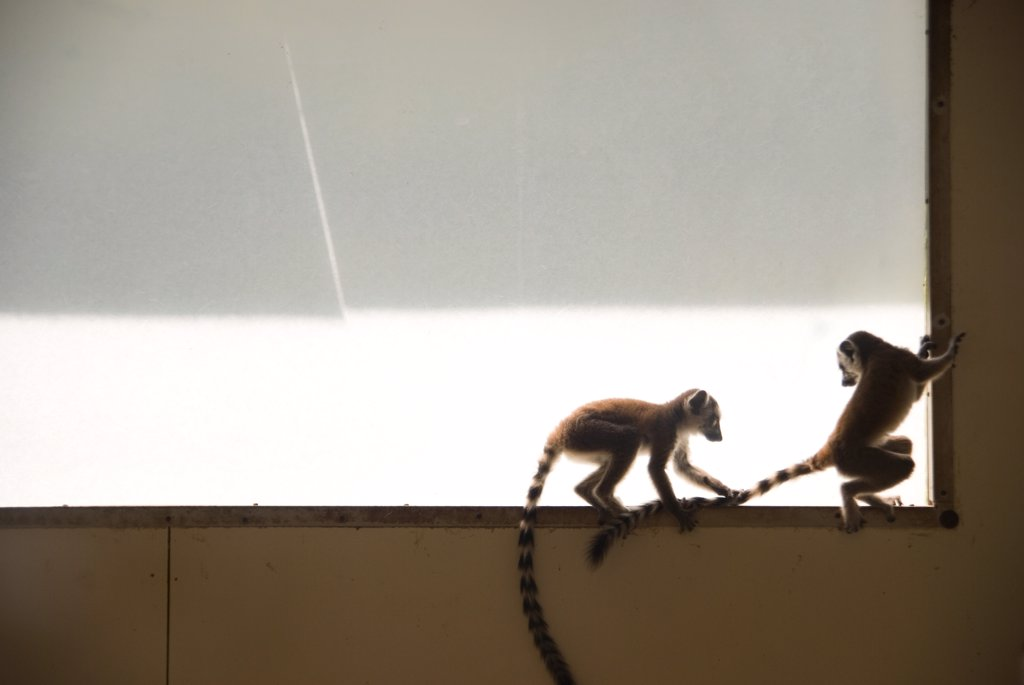 Stock Photo: 1838-7828 Lemur Pulling Sibling's Tail