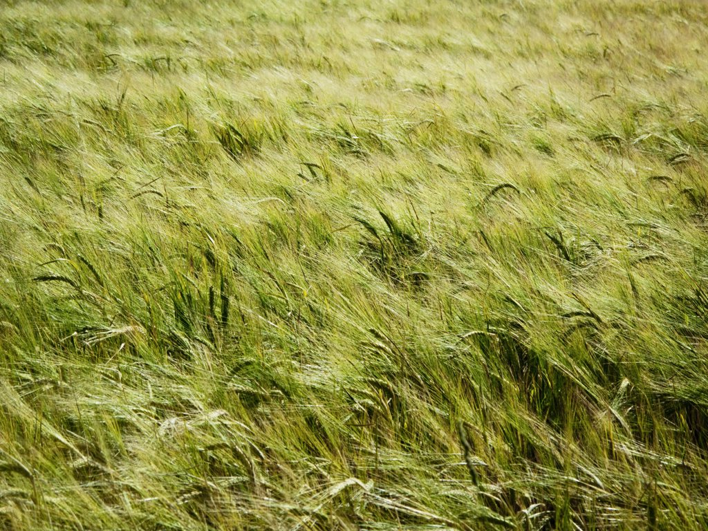 Tall Grass Blowing in Wind : Stock Photo