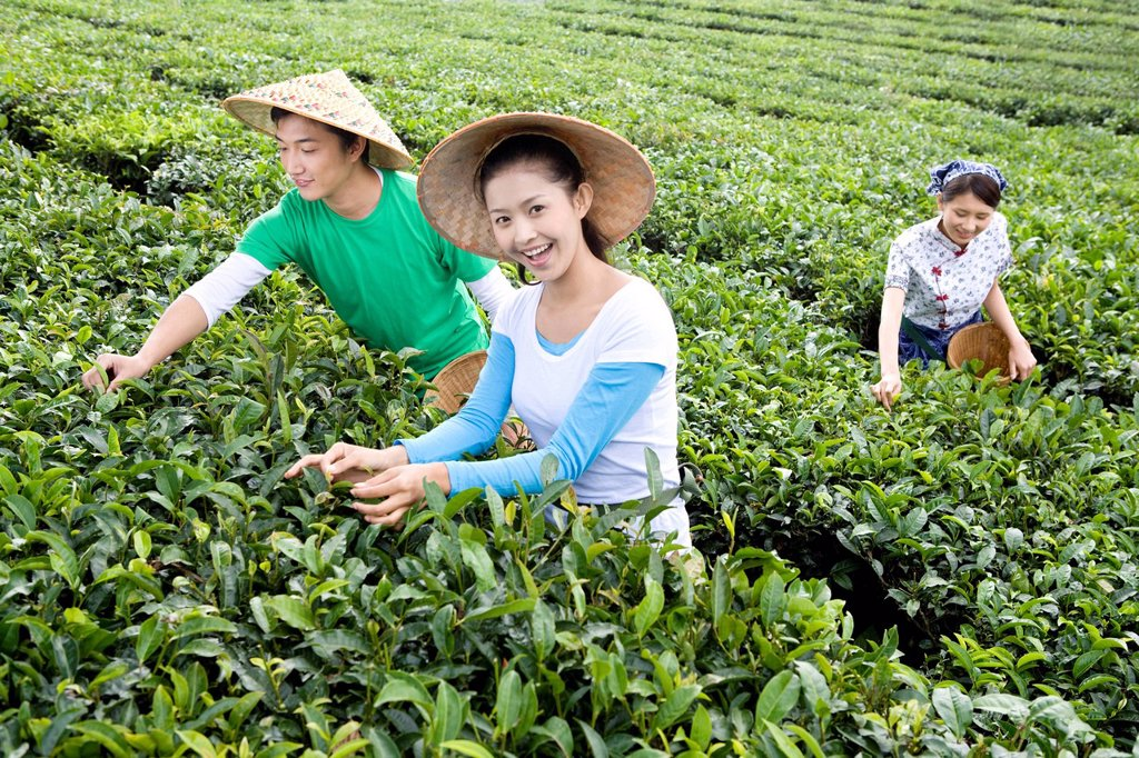 Three Young People Picking Tea : Stock Photo