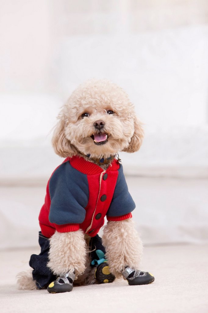 Stock Photo: 1839R-23910 Close_up of a pet toy poodle