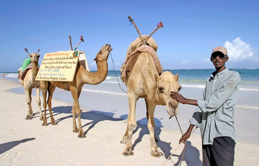 Mombasa, Dianna Beach, Camels : Stock Photo